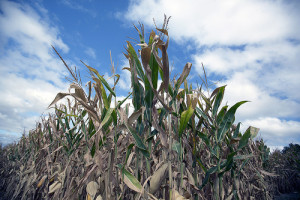 Corn in Iowa was among the crops across the nation hit hard by the 2012 drought. The rapid response by crop insurance companies to that crisis demonstrated why public-private partnerships are good for today's agricultural economy. Photo: USDA