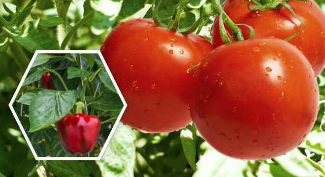 tomato-pepper-usa_timorex