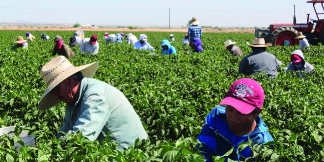 Arizona farm picks millions of pounds of hot, mild varieties
