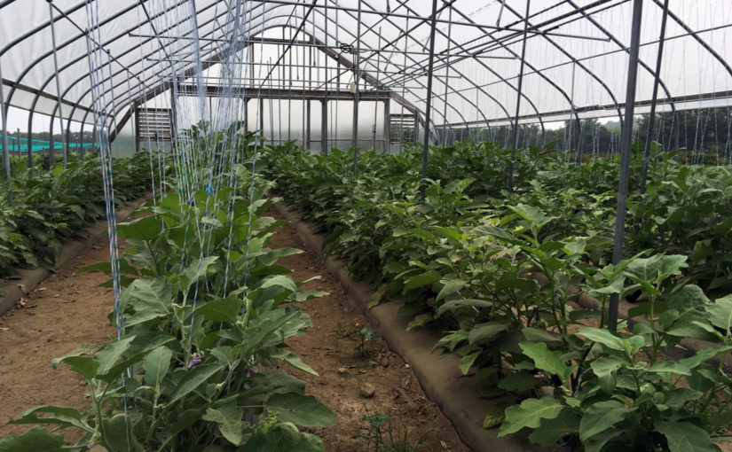 Research: Specialty eggplant varieties grow well in high
