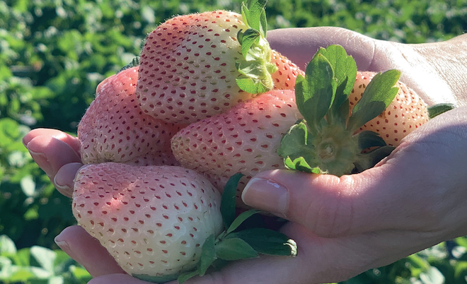 Pink-A-Boo white strawberries