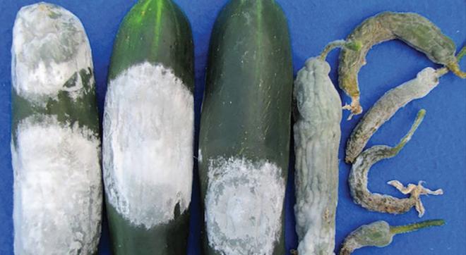 Pythium in cucurbits